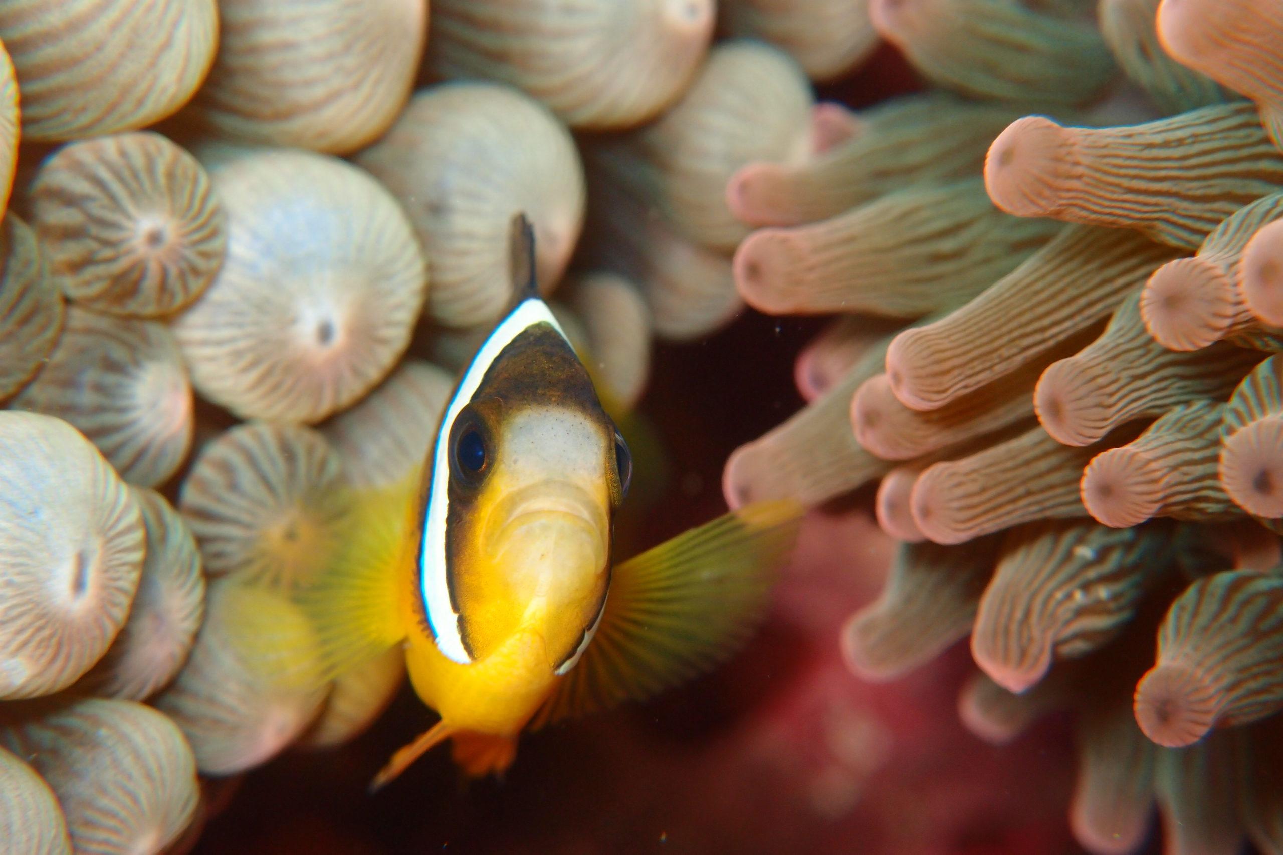 イソギンチャク と 共生 する 魚
